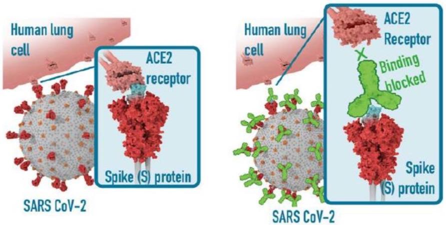 Rezeptorbindungsdomäne (RBD) des Spike (S) -Proteins im SARS CoV 2-Virus